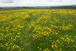 Buttercups on Lype Hill